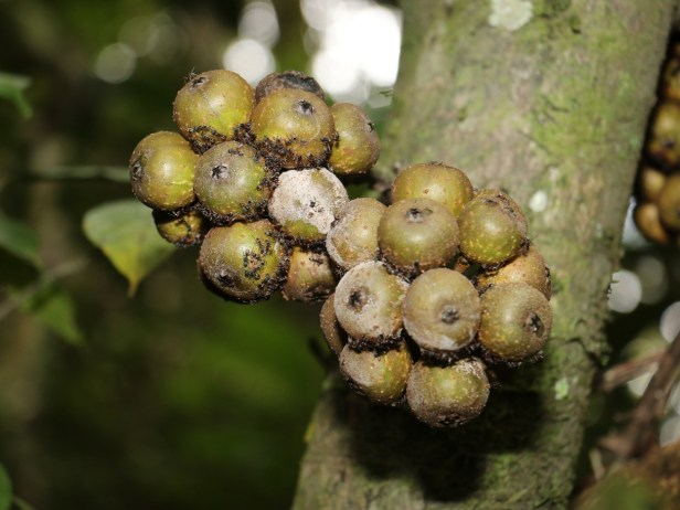 ficus-rosulata-3p7a1826