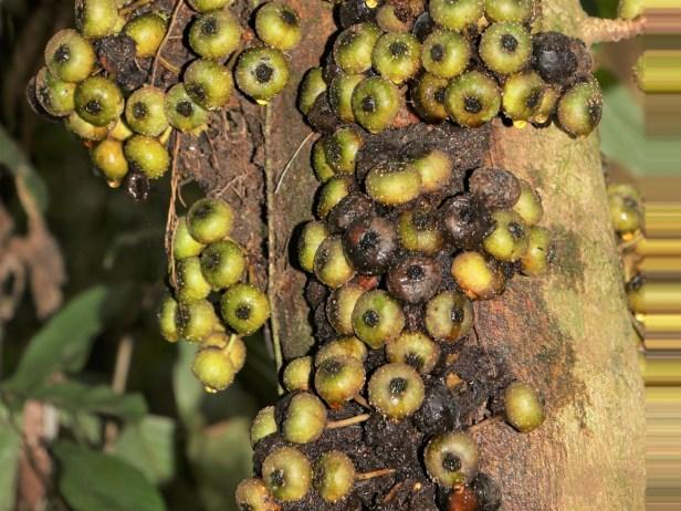 ficus-rosulata-3p7a5038