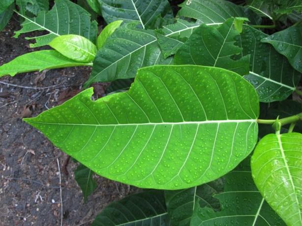 Ficus septica IMG_0022.JPG