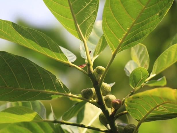Ficus septica IMG_6401.JPG