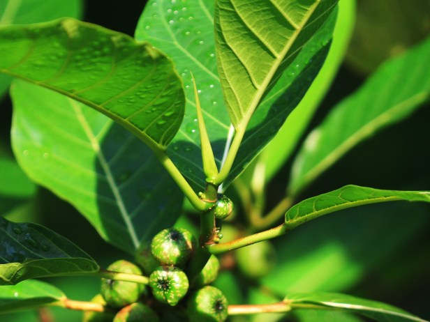 Ficus septica IMG_7168.JPG
