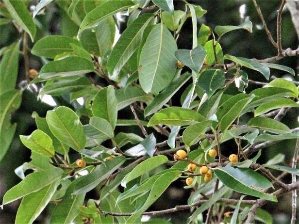 Ficus sundaica IMG_2741 - Copy.JPG