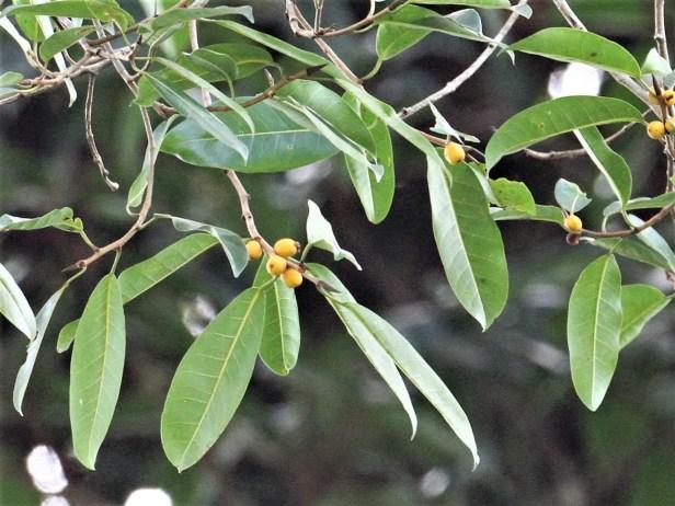 Ficus sundaica IMG_2759.JPG