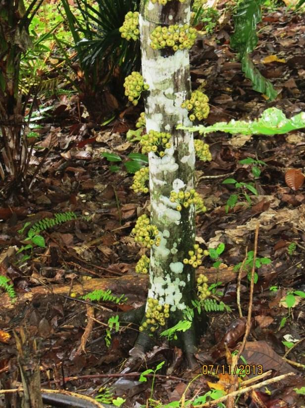 Ficus variegata IMG_4121.JPG