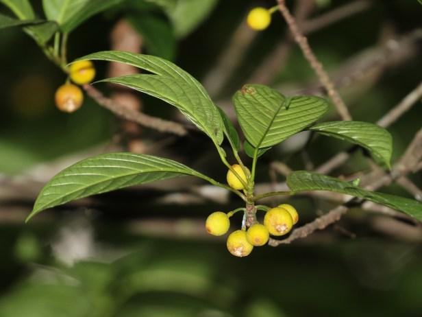 fig-on-tree-enhanced-3p7a6661