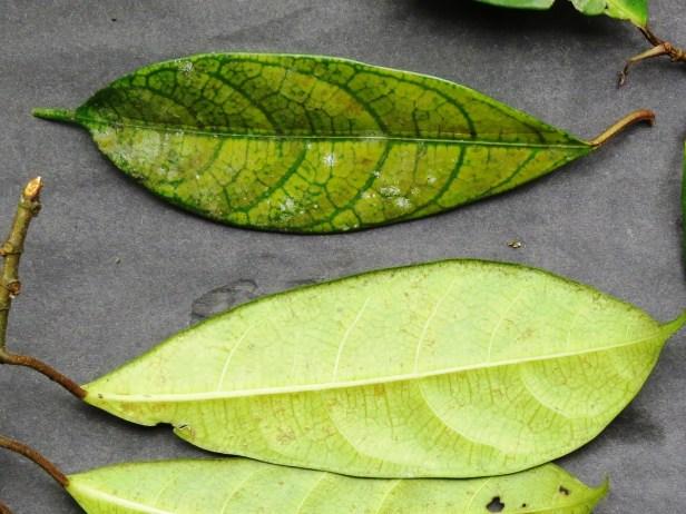 Leaf IMG_8961 - Copy.JPG