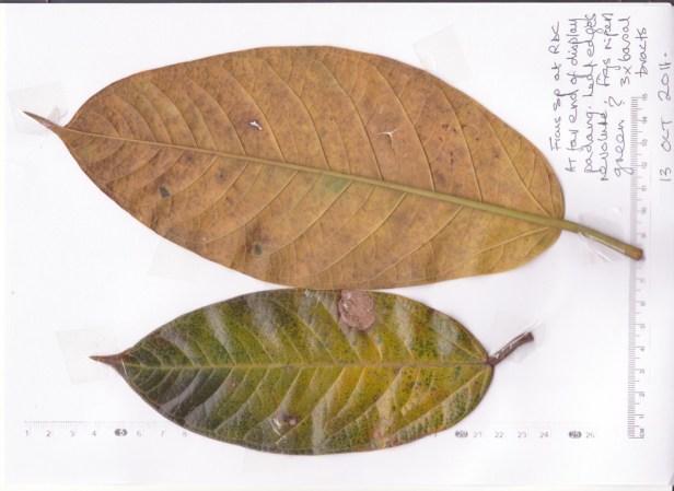 Sepilok RDC  Ficus A 111013 - Copy.jpg