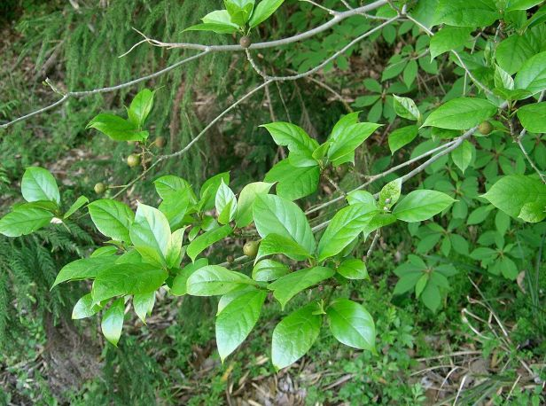 FICUS  1280px-Ficus_erecta5 Wikimedia commons .jpg