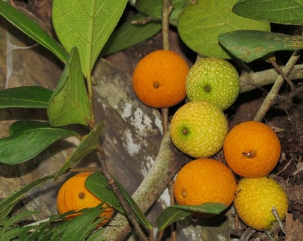 Ficus apiocarpa IMG_1251 - Copy.JPG