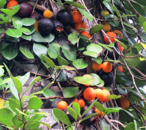 Ficus apiocarpa IMG_1409 - Copy.JPG