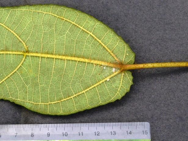 Ficus bruneoaurata IMG_0018.JPG