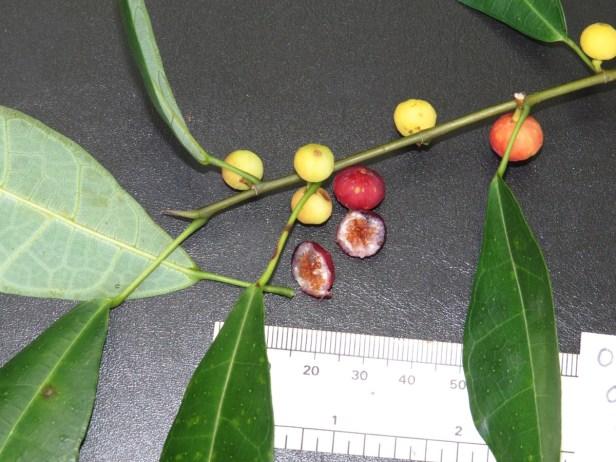 Ficus chartaceae IMG_0327 - .JPG