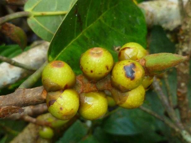 Ficus consociata   4 - Copy.JPG