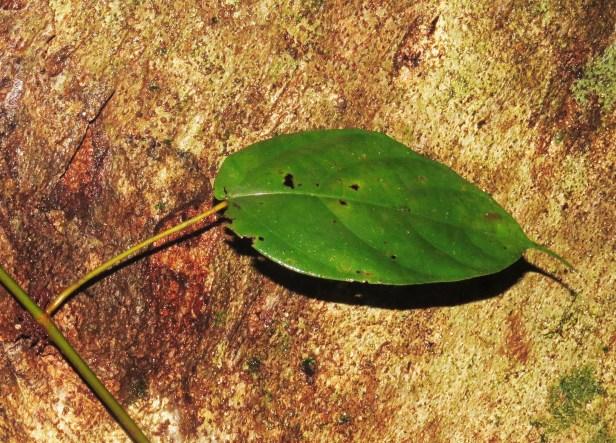 Ficus densechini IMG_2939 - Copy.JPG