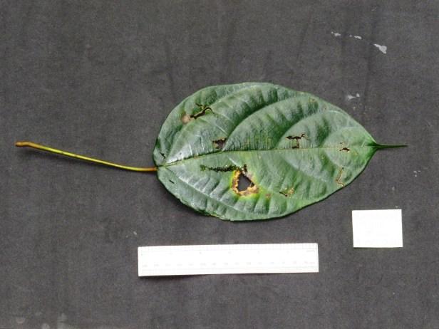 Ficus densechini IMG_3041 - Copy.JPG