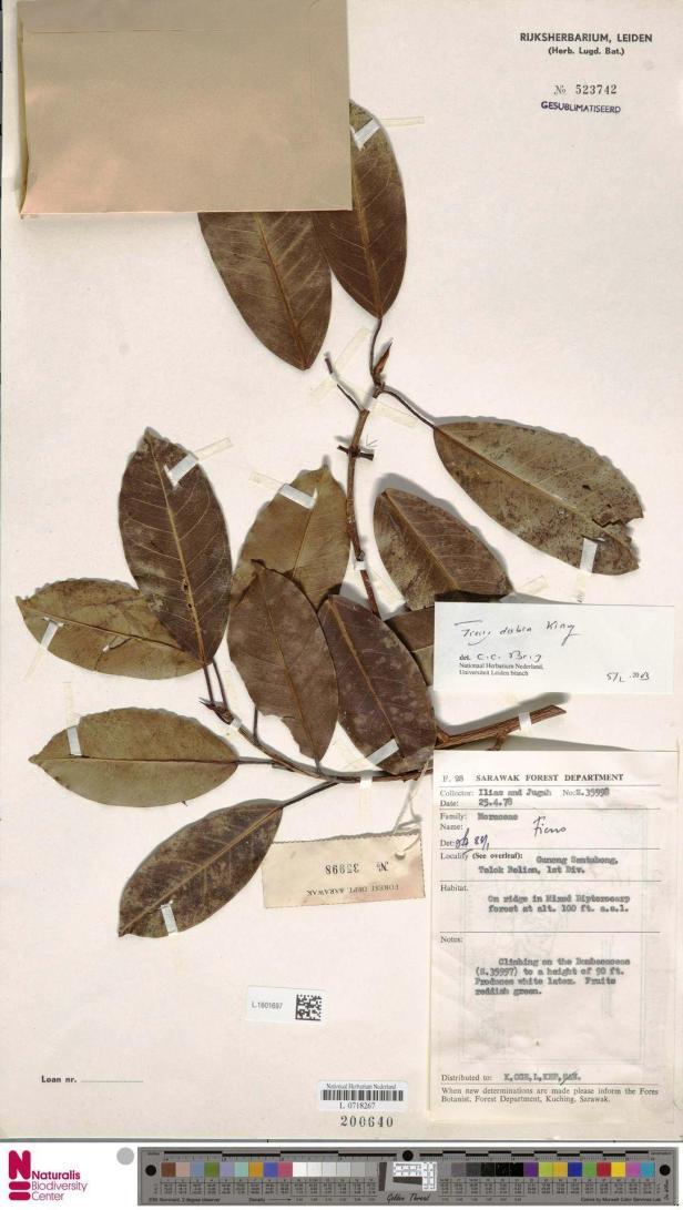 Ficus dubia Gunung Santubong Telok belian - Copy.jpg