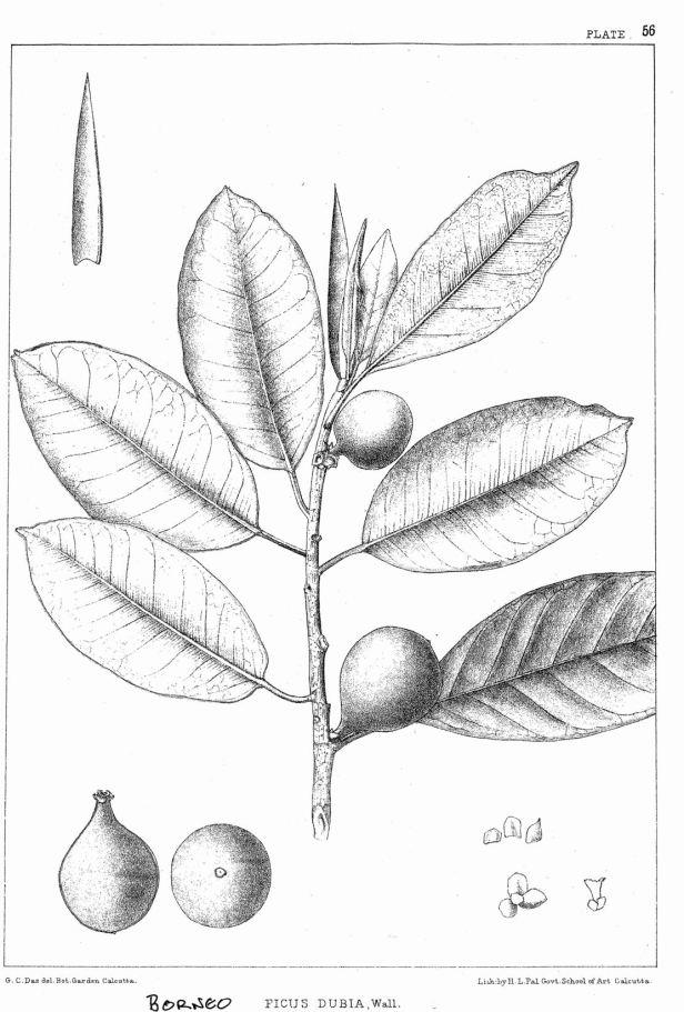 Ficus dubia King (1887) enhanced.jpg