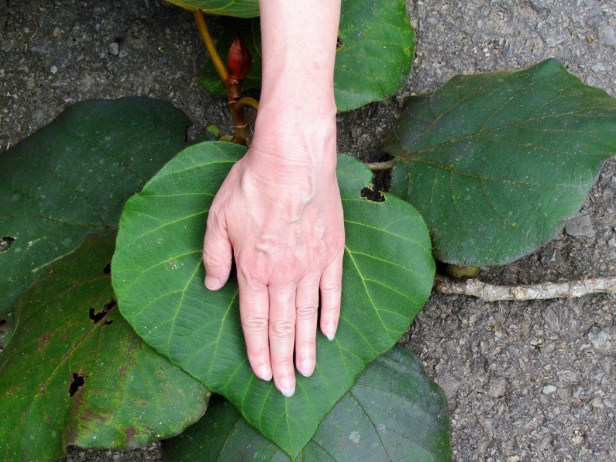 Ficus endospermifolia IMG_1068.JPG