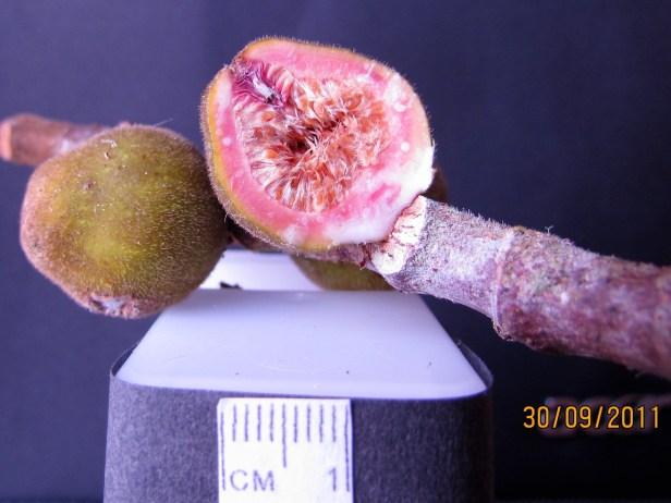 Ficus endospermifolia IMG_1184 - Copy.JPG