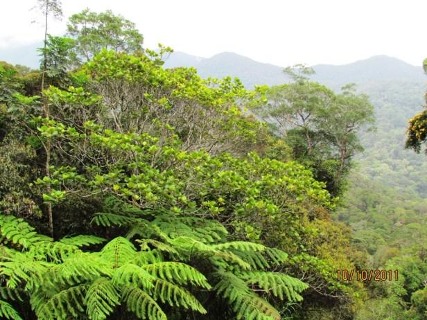 Ficus endospermifolia IMG_2144 - Copy.JPG