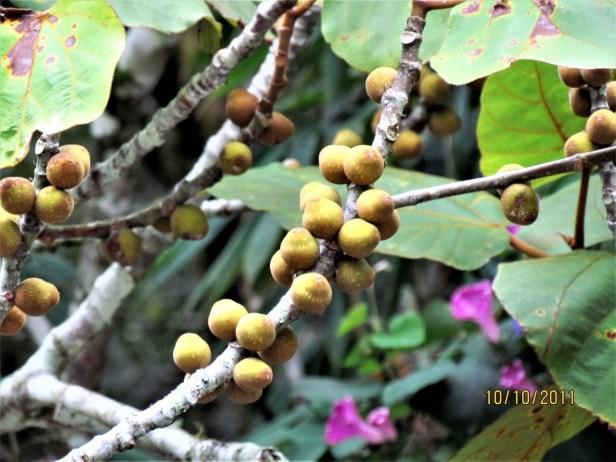Ficus endospermifolia IMG_2233 - Copy.JPG