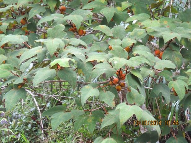 Ficus eumorpha IMG_0271 - Copy.JPG