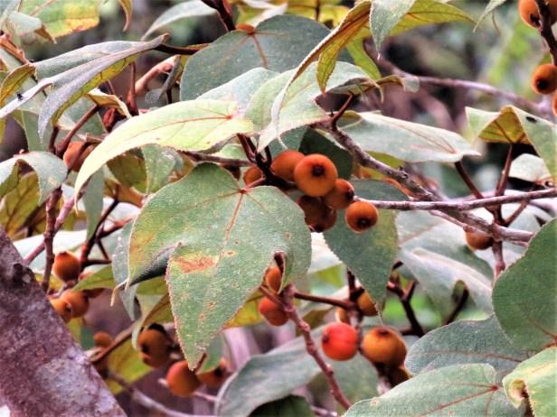 Ficus eumorpha IMG_0282.JPG