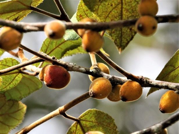 Ficus eumorpha IMG_2149.JPG