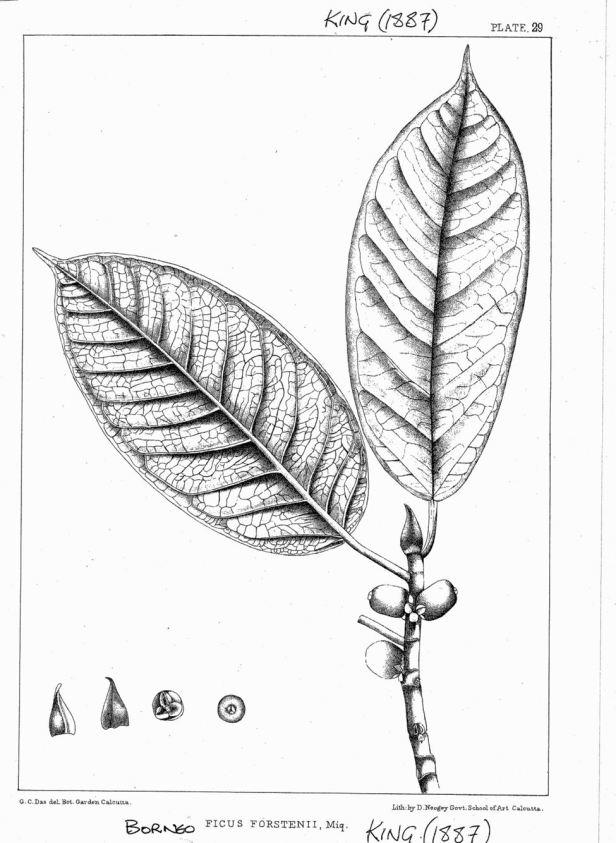 Ficus forstenii King (1887) ENHANCED.jpg