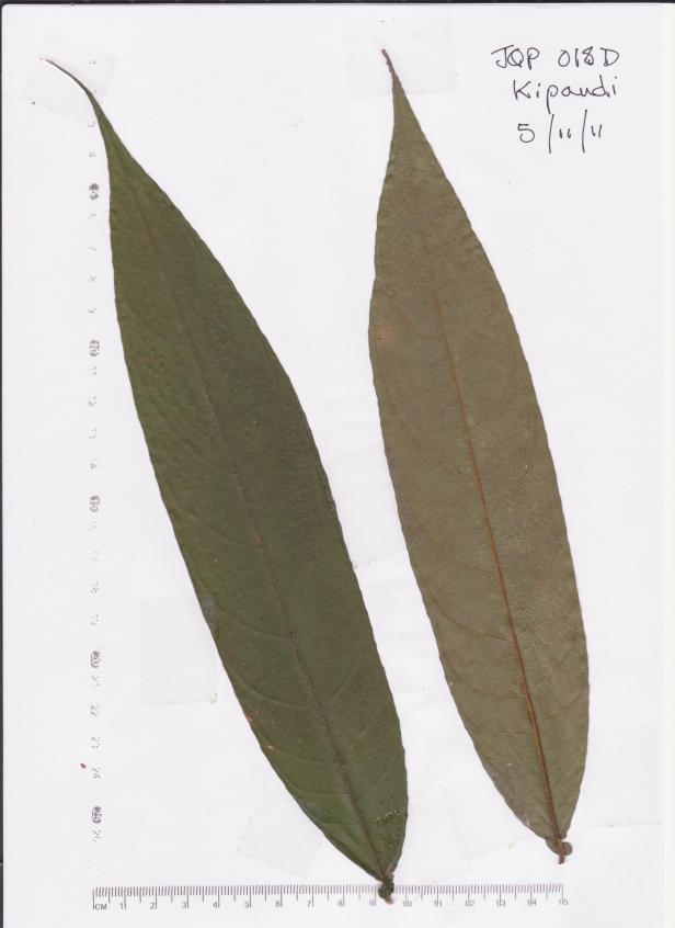 Ficus geocharis JQP018D Kipandi earth fig 111105 001.jpg