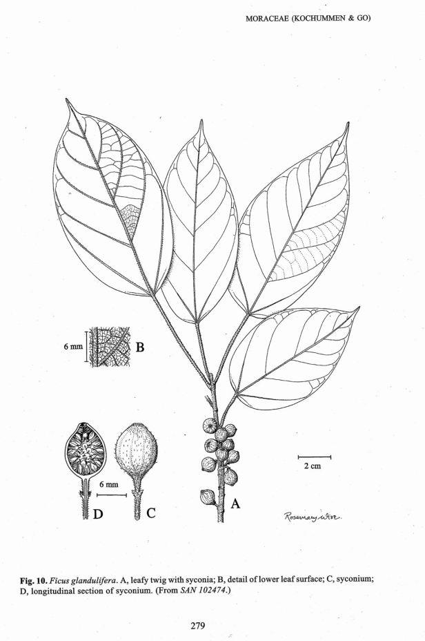 Ficus glandulifera CCI18032017.jpg