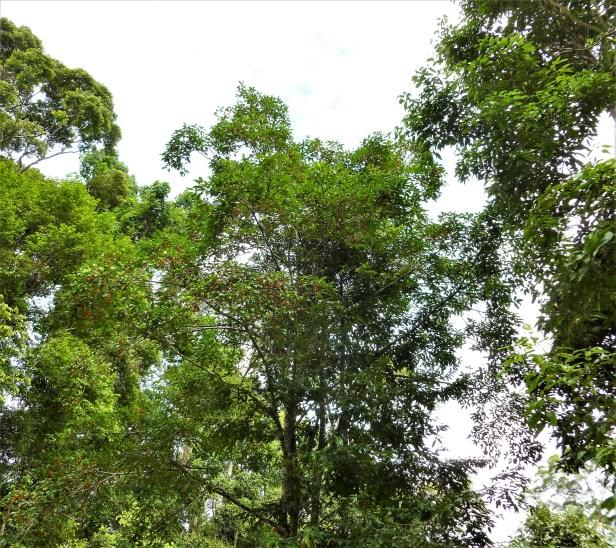 Ficus glandulifera  oren 14.JPG