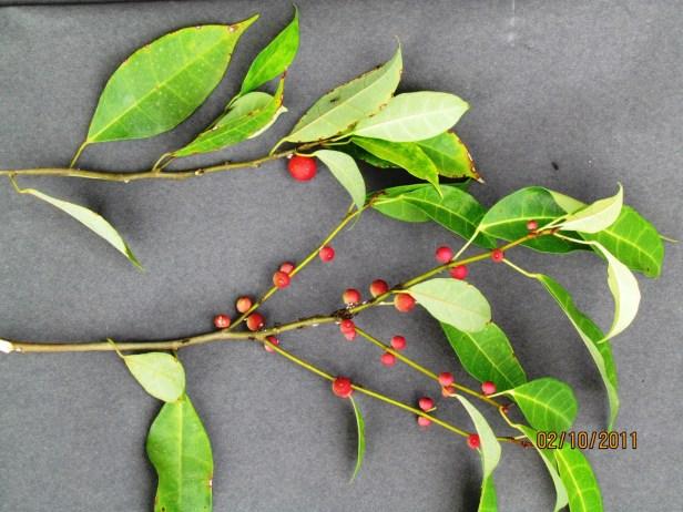Ficus IMG_1497 - Ficus macilenta.JPG