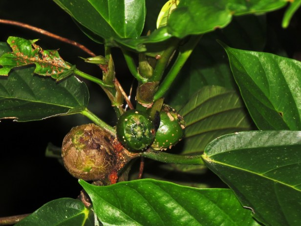 Ficus lepicarpa IMG_6512.JPG