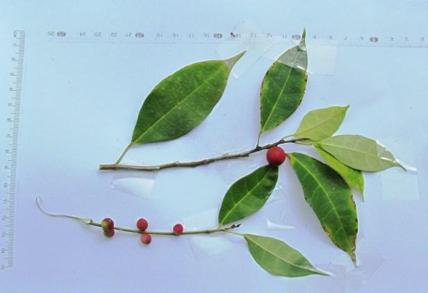 Ficus macilenta IMG_1502 - Copy.JPG