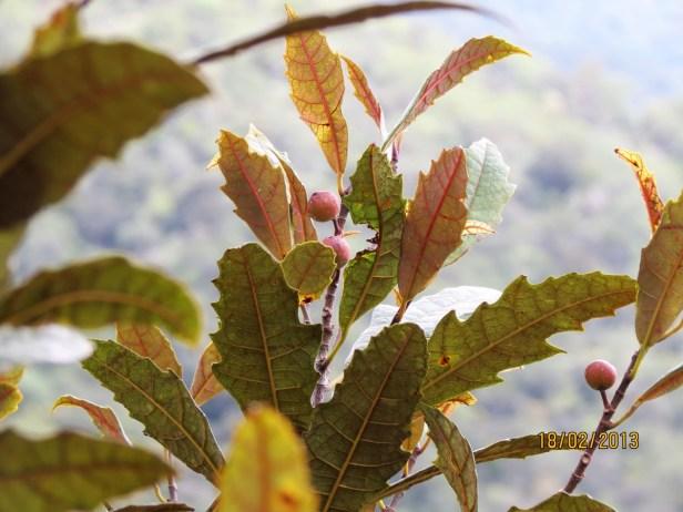Ficus macilenta IMG_3331 JQPF009.JPG