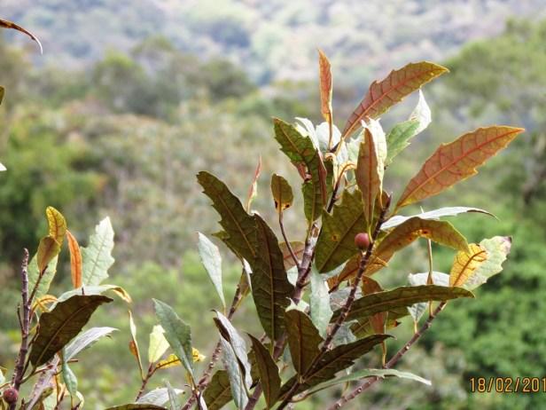 Ficus macilenta IMG_3334 JQPF009.JPG