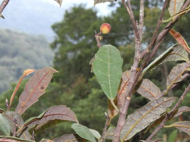 Ficus macilenta IMG_3364 - Copy.JPG