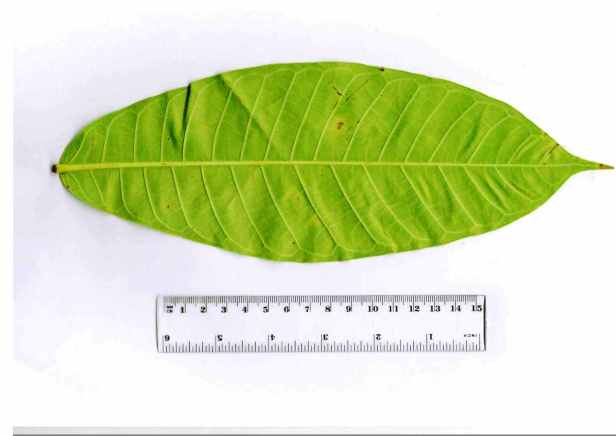 Ficus maratuae FIG E.  Mystery fig E under - Copy.jpg