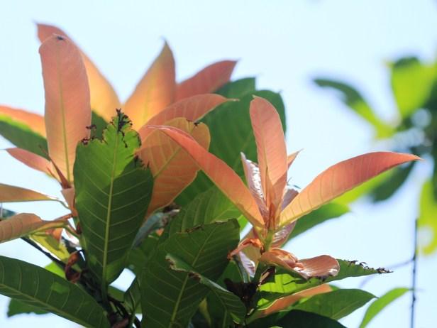 Ficus maratuae IMG_7529 - Copy.JPG