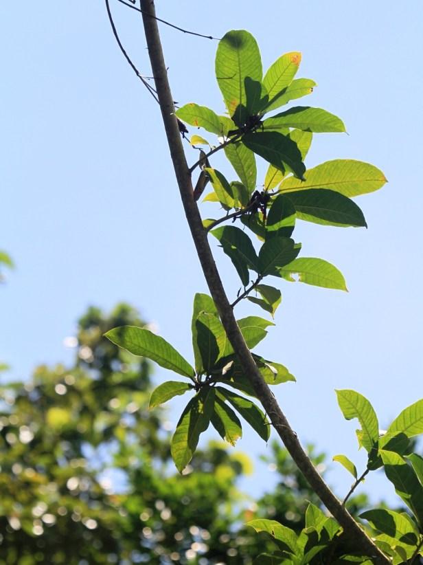 Ficus maratuae IMG_7537 - Copy.JPG