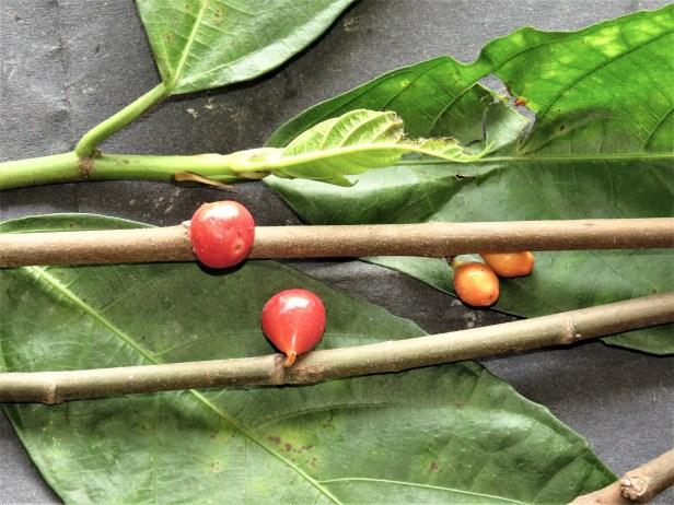 Ficus montana IMG_4371.JPG