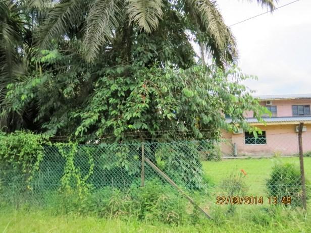 Ficus parietalis IMG_0138 - Copy.JPG