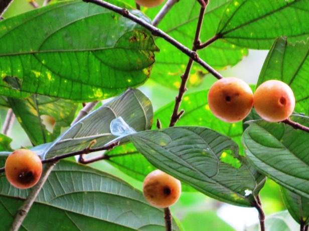 Ficus parietalis IMG_5964 - Copy.JPG