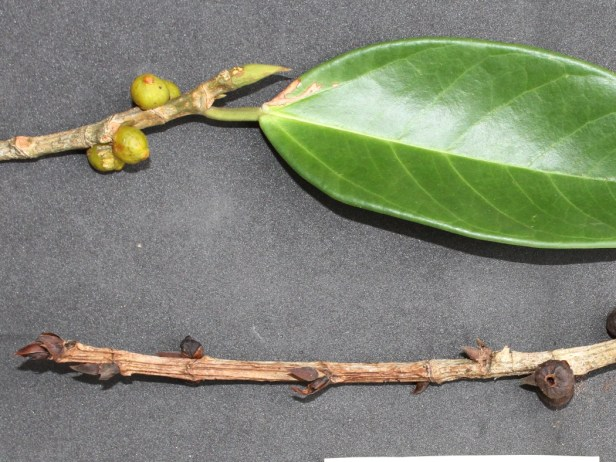 Ficus pisocarpa IMG_1458 - Copy.JPG