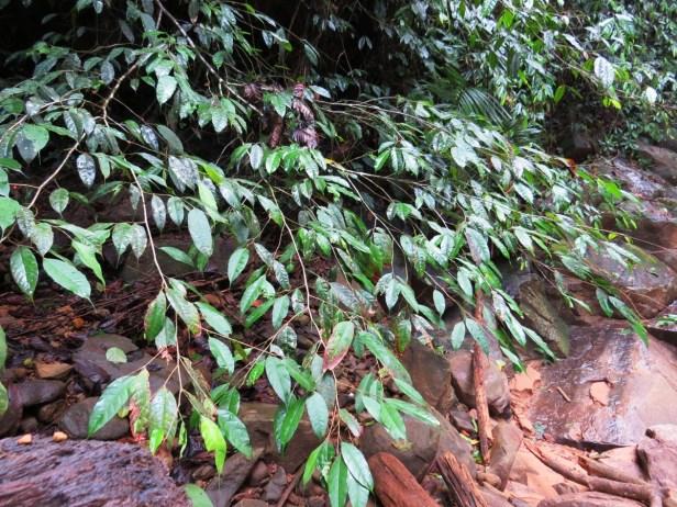 Ficus rubrocuspidata 123.JPG