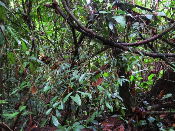 Ficus rubrocuspidata IMG_2196.JPG