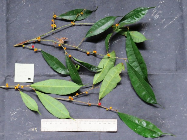Ficus rubrocuspidata IMG_2234.JPG