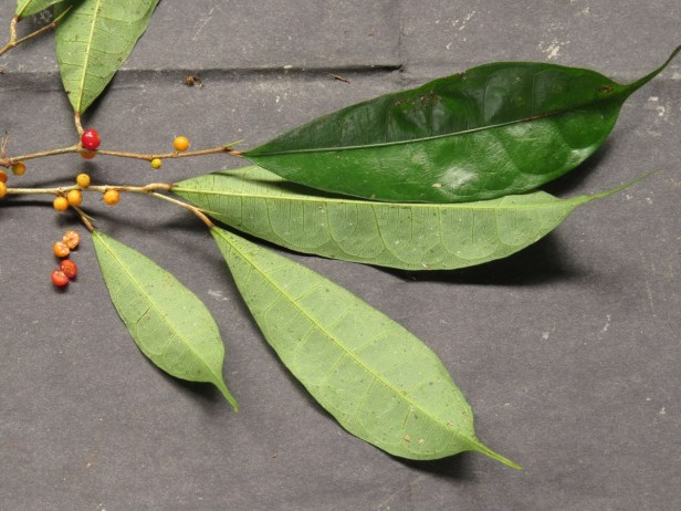 Ficus rubrocuspidata IMG_2253.JPG