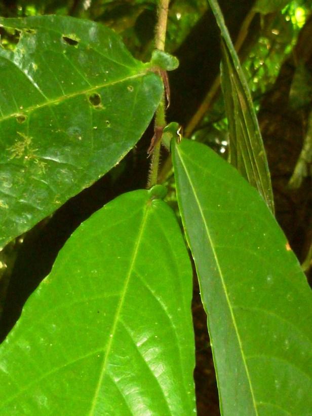 Ficus rubromidotis 11.JPG